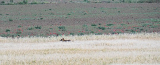 Canis aureus, șacal în Podișul Nord Dobrogean