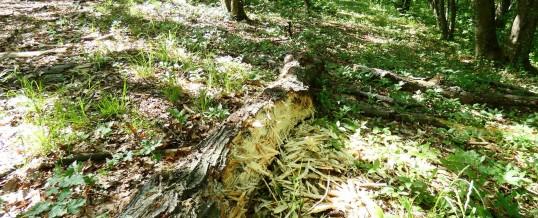 Urme de ciocănitoare în pădure, Dryocopus martius