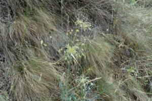 Allium flavum ssp. tauricum 1