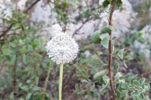 Allium guttatum