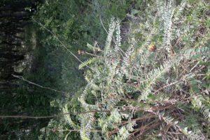 Astragalus ponticus