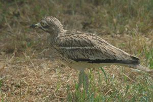 Burhinus oedicnemus - pasărea ogorului