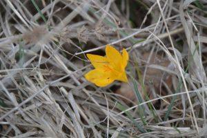 Crocus chrysanthus – Brândușă