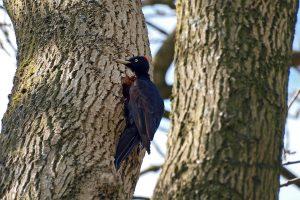 Dryocopus martius – ciocănitoarea neagră