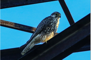Falco cherrug - șoim dunărean, șoim sacru
