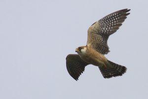 Falco vespertinus - vânturel de seară, șoimuleț de seară