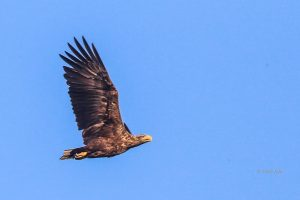 Haliaeetus albicilla – codalb, vultur cu coada albă