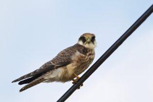 Falco vespertinus – vânturel de seară, șoimuleț de seară