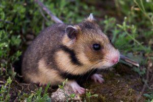 Mesocricetus newtoni – grivanul, hamsterul dobrogean, grivanul mic, grivanul de Dobrogea