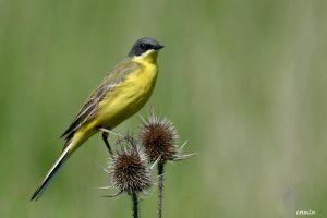 Motacilla flava – codobatură galbenă