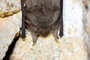 Myotis emarginatus – liliac cu urechi scobite
