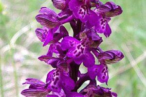Orchis morio - orhidee, poroinic, untul vacii