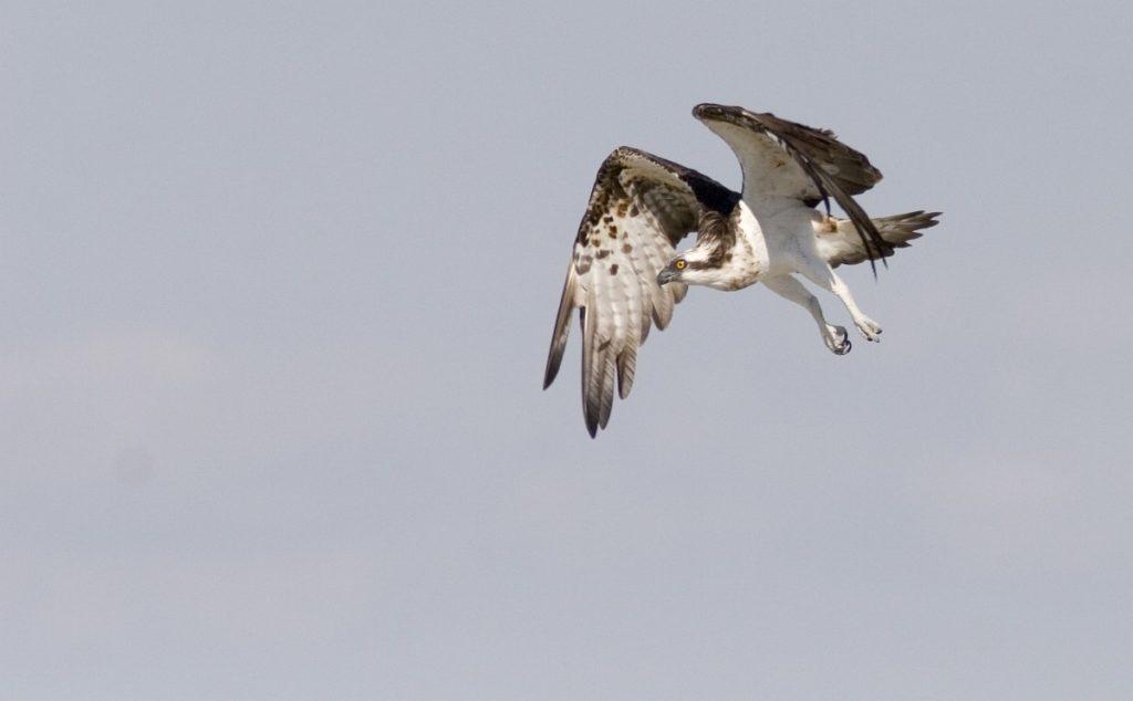 Pandion haliaetus - vultur pescar, uligan pescar