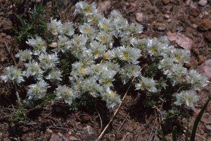 Paronychia cephalotes