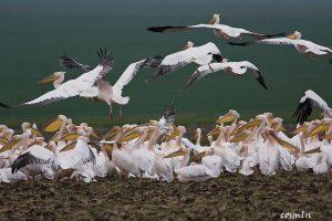 Pelecanus onocrotalus - pelicanul comun