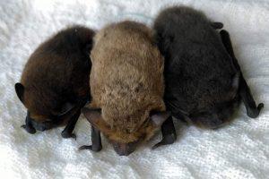 Pipistrellus pipistrellus, kuhlii and nathusii_Bucuresti_WildernessResearchandConservation-delastangaladreapta