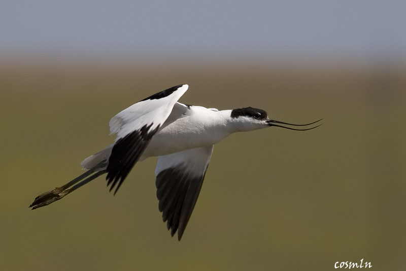 Recurvirostra avosetta - Ciocîntors