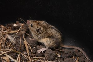 Sicista subtilis – şoarecele dungat de stepă sau şoarecele săritor de stepă