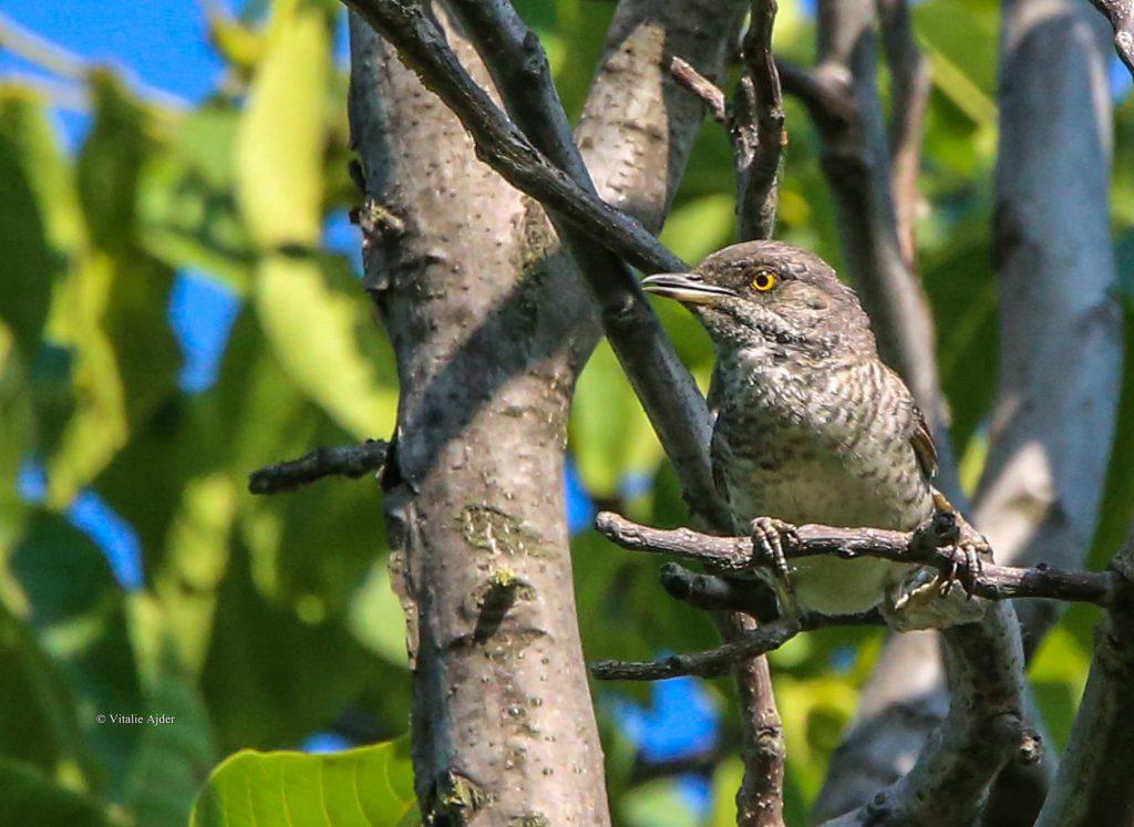Sylvia nisoria – silvie porumbacă