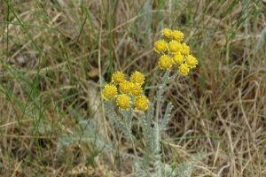 Tanacetum millefolium 1